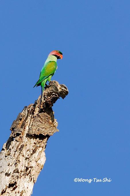 image 384 of Long-tailed Parakeet
