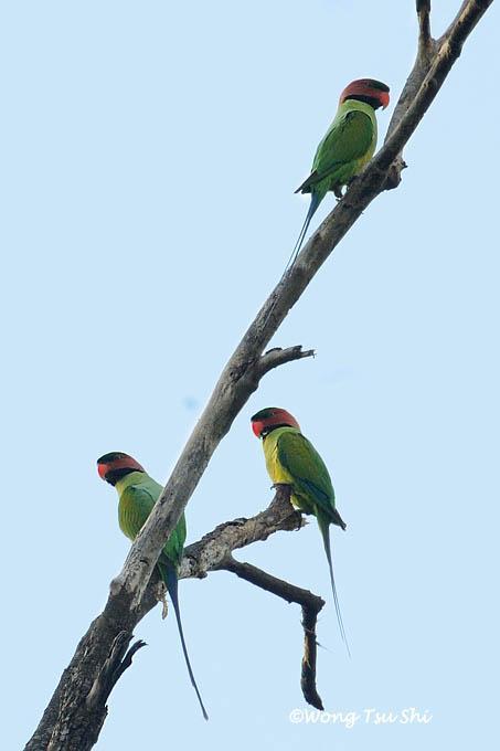 image 609 of Long-tailed Parakeet