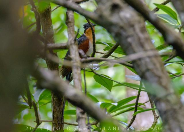 image 7180 of Chestnut-winged Cuckoo
