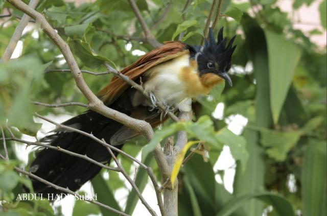 image 7107 of Chestnut-winged Cuckoo