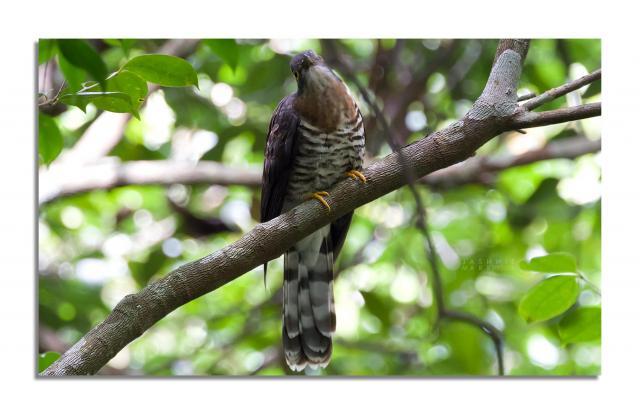 image 6831 of Dark Hawk-cuckoo