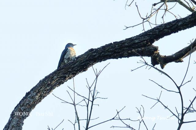 image 3285 of Indian Cuckoo