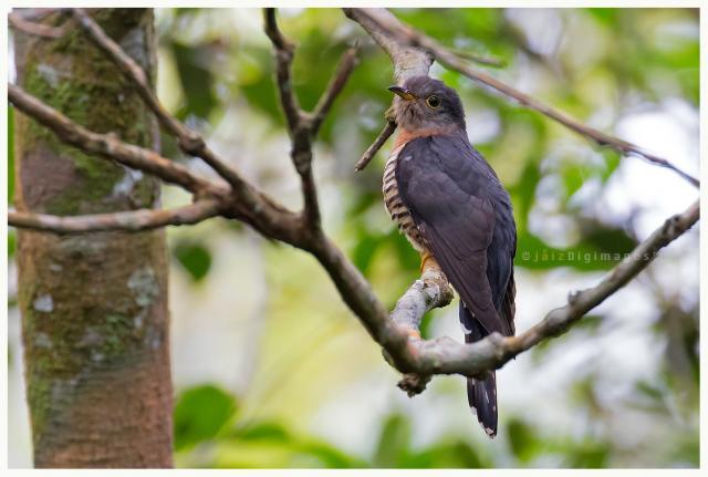 image 7717 of Sunda Lesser Cuckoo