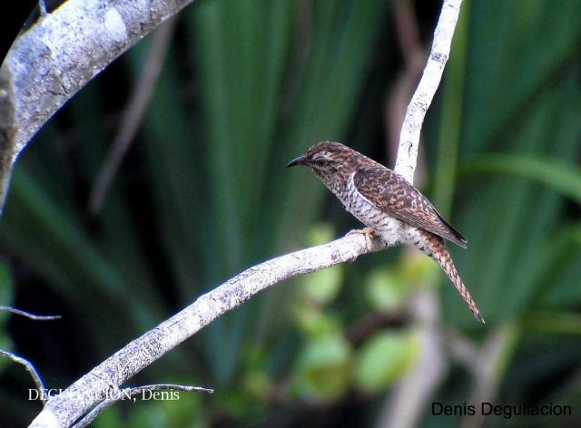 image 6091 of Banded Bay Cuckoo