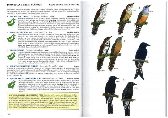 image 2689 of Banded Bay Cuckoo