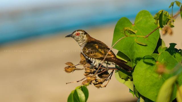 image 7489 of Little Bronze Cuckoo