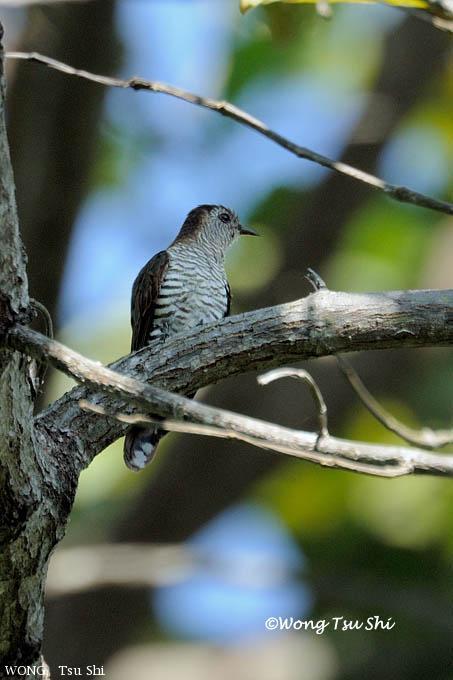 image 6161 of Gould's Bronze Cuckoo