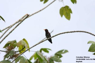image 3379 of Violet Cuckoo