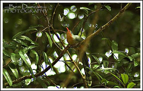 image 3651 of Red-billed Malkoha