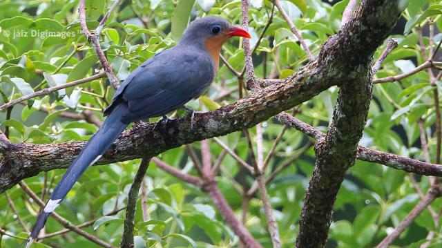 image 7401 of Red-billed Malkoha