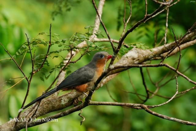 image 5929 of Red-billed Malkoha