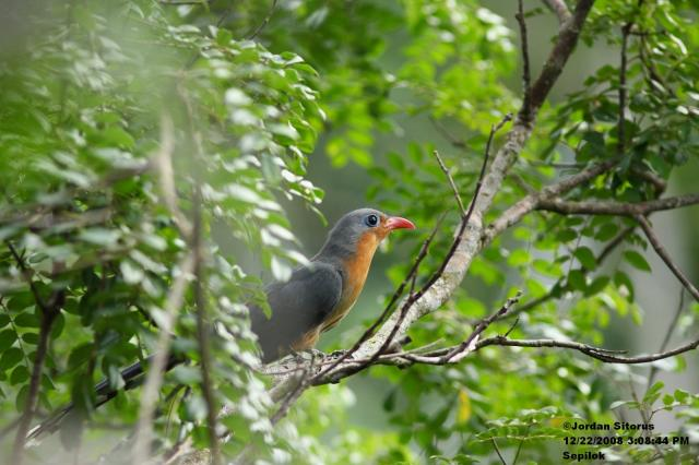 image 3380 of Red-billed Malkoha
