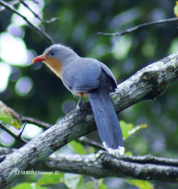 image 6058 of Red-billed Malkoha