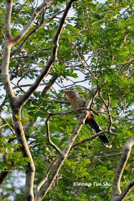 image 1292 of Red-billed Malkoha