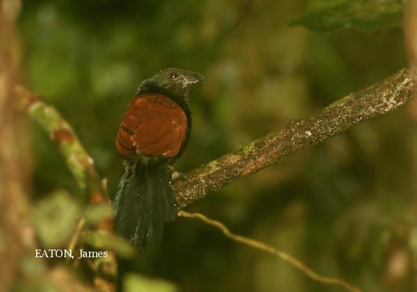 image 2138 of Short-toed Coucal