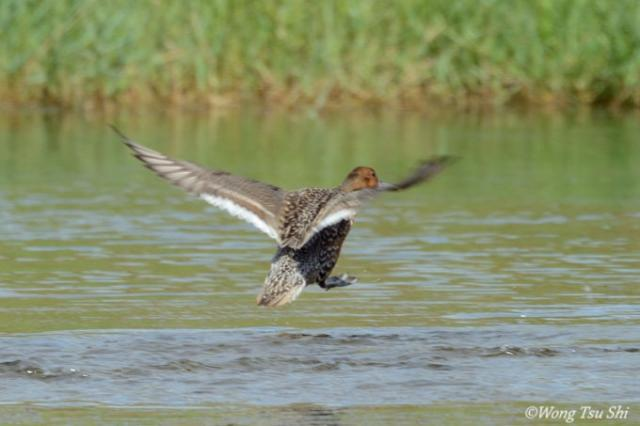 image 6732 of Northern Pintail