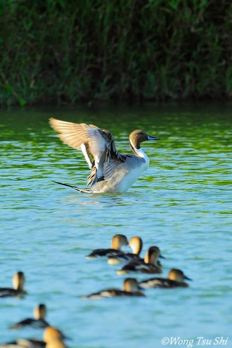 image 6988 of Northern Pintail