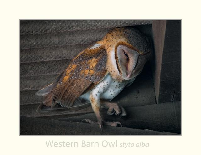 image 8251 of Barn Owl