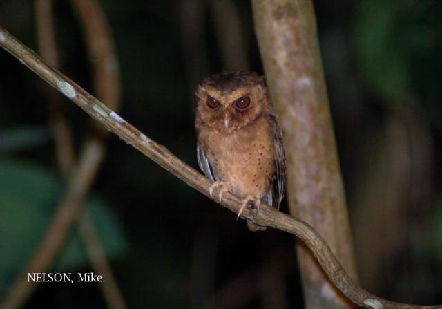 image 5191 of Reddish Scops Owl