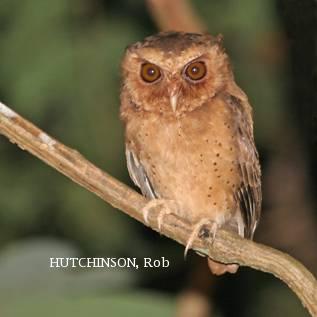 image 1993 of Reddish Scops Owl