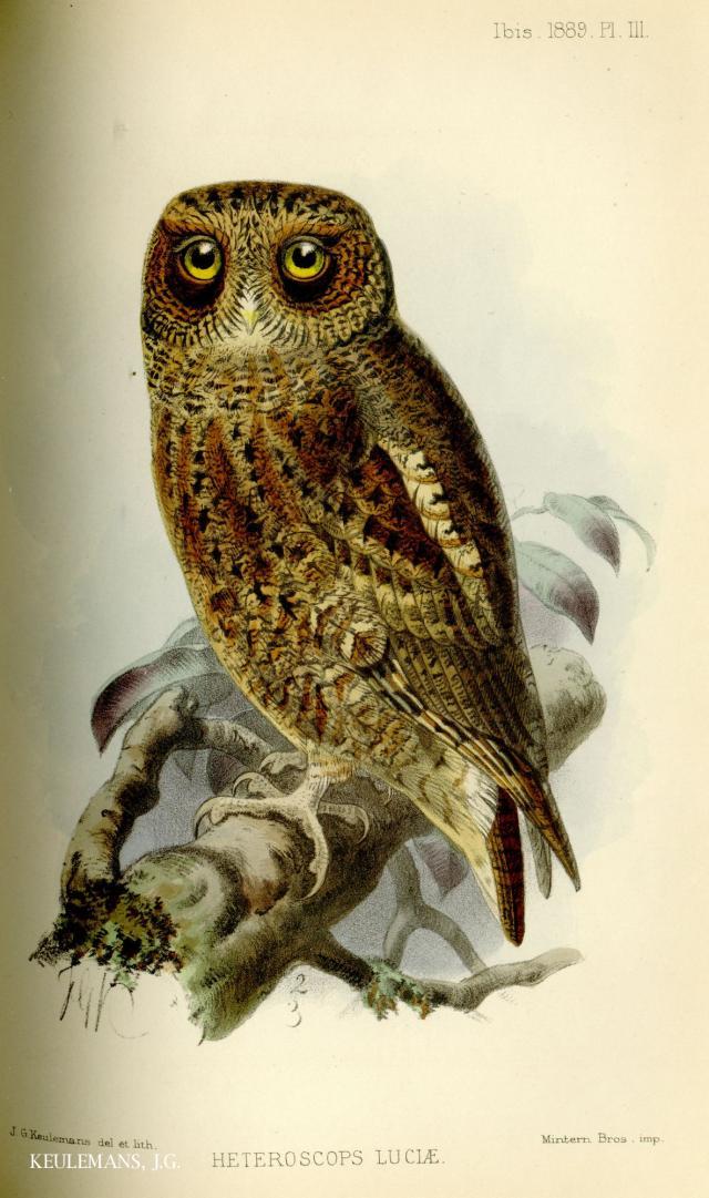 image 4977 of Mountain Scops Owl