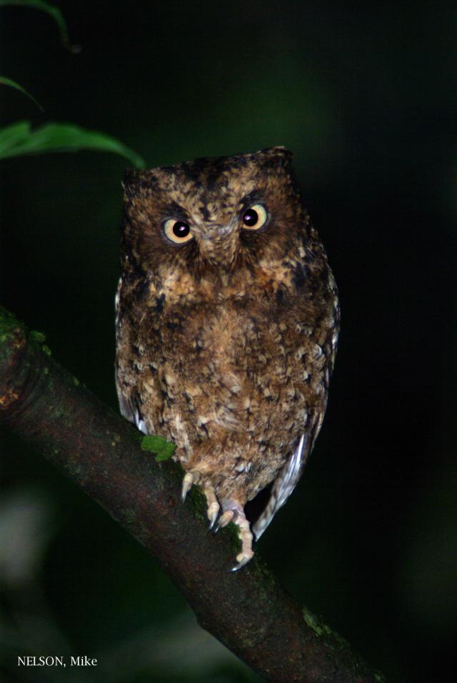 image 5192 of Mountain Scops Owl