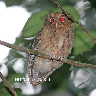 image 1994 of Mountain Scops Owl