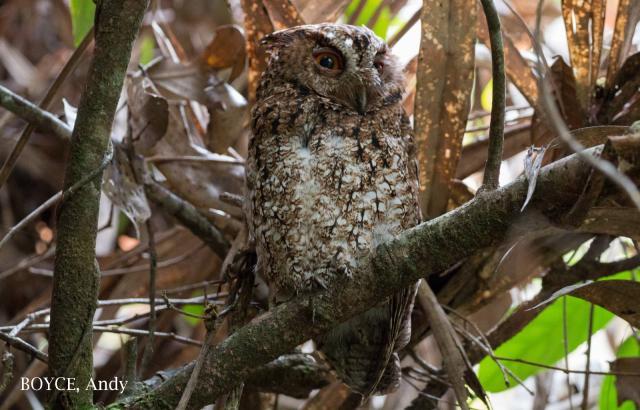 image 7584 of Rajah Scops Owl