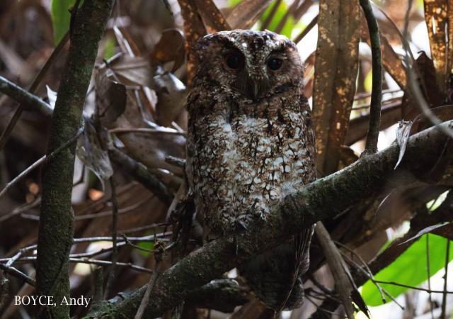 image 7585 of Rajah Scops Owl