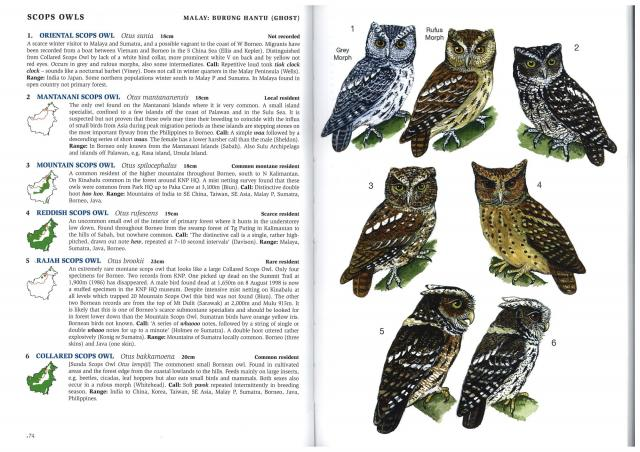 image 2717 of Rajah Scops Owl