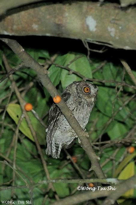 image 6165 of Collared Scops Owl