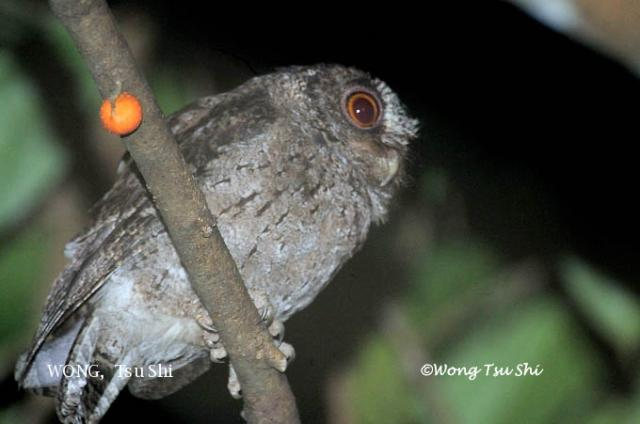 image 6164 of Collared Scops Owl