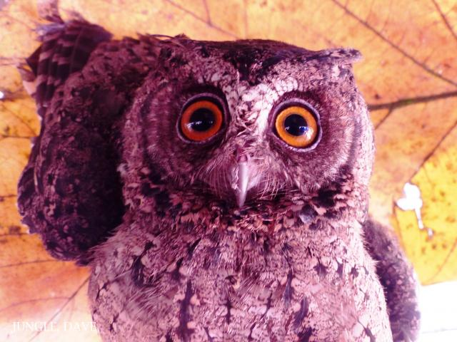 image 7974 of Collared Scops Owl