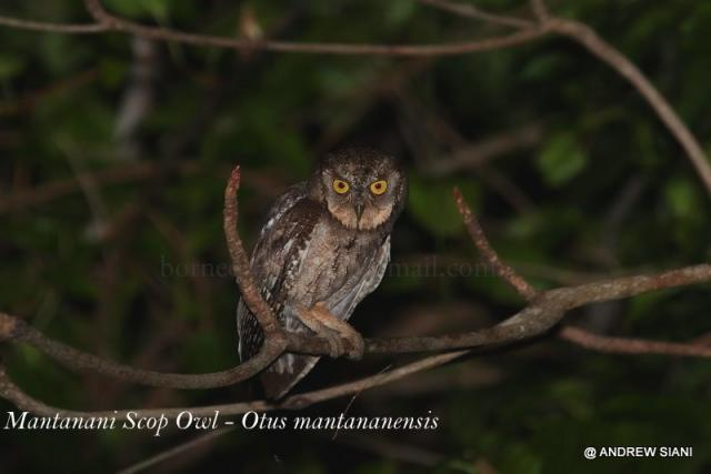 image 3099 of Mantanani Scops Owl