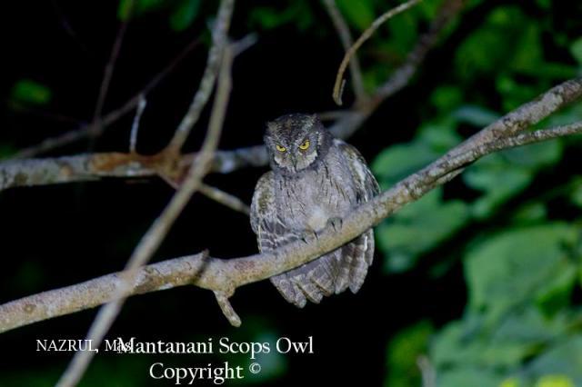 image 6983 of Mantanani Scops Owl