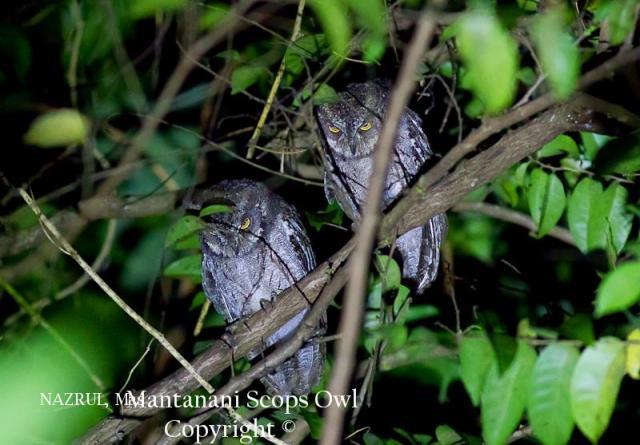 image 6986 of Mantanani Scops Owl