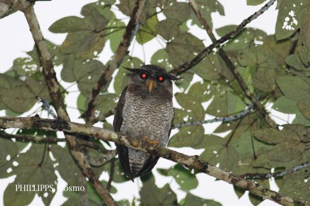 image 7635 of Barred Eagle Owl
