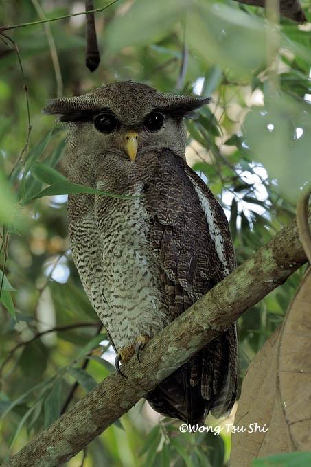 image 878 of Barred Eagle Owl