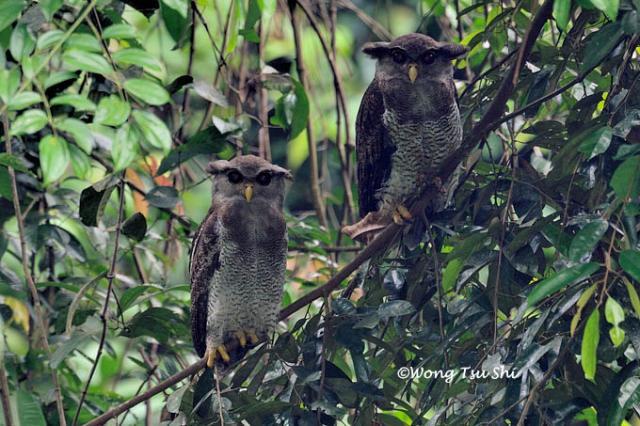 image 877 of Barred Eagle Owl