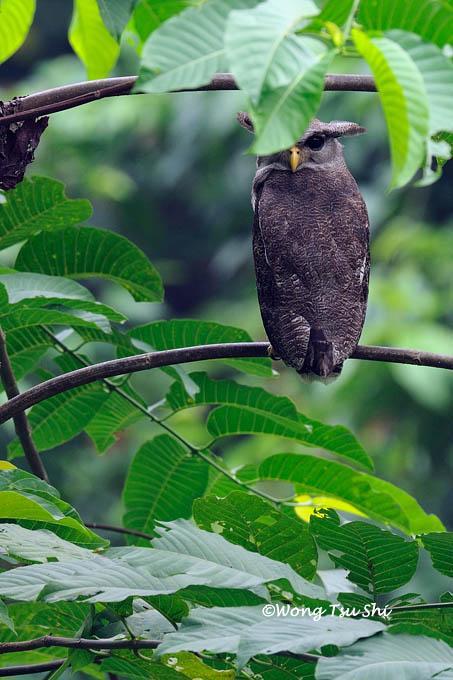 image 876 of Barred Eagle Owl