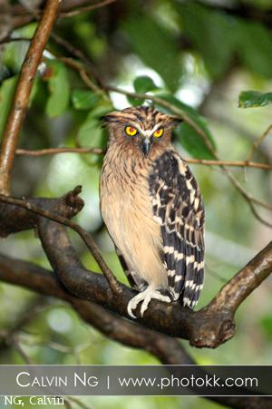 image 5049 of Buffy Fish Owl