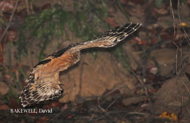 image 4155 of Buffy Fish Owl