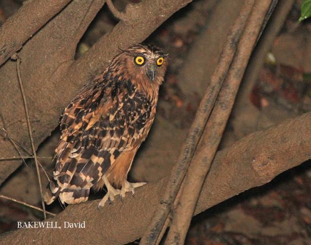 image 4156 of Buffy Fish Owl