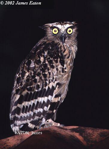 image 2144 of Buffy Fish Owl