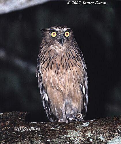 image 2143 of Buffy Fish Owl