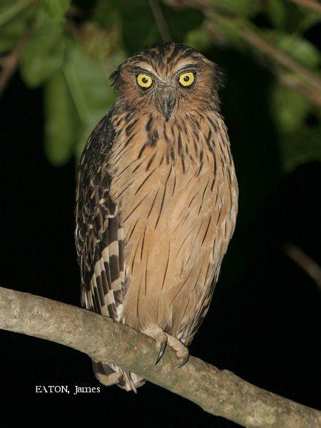 image 2145 of Buffy Fish Owl