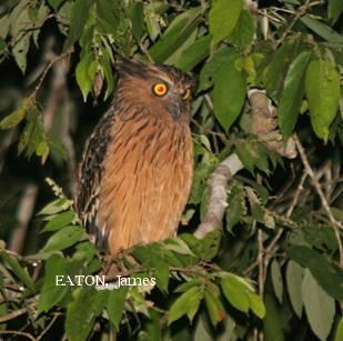 image 2146 of Buffy Fish Owl