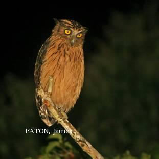 image 2147 of Buffy Fish Owl