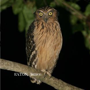 image 2148 of Buffy Fish Owl