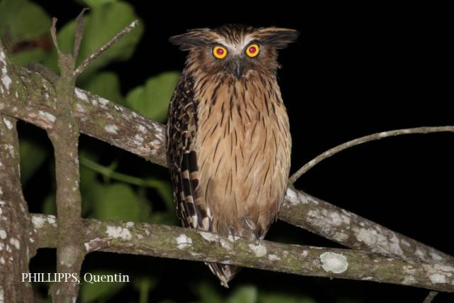 image 7631 of Buffy Fish Owl